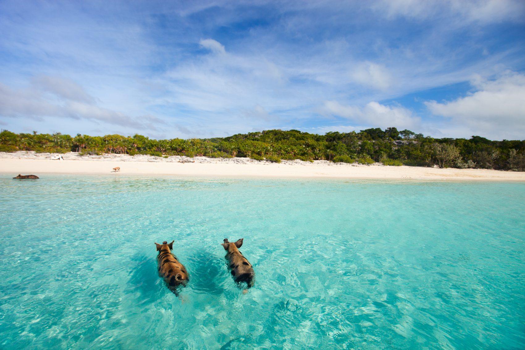 pigs beach bahamas