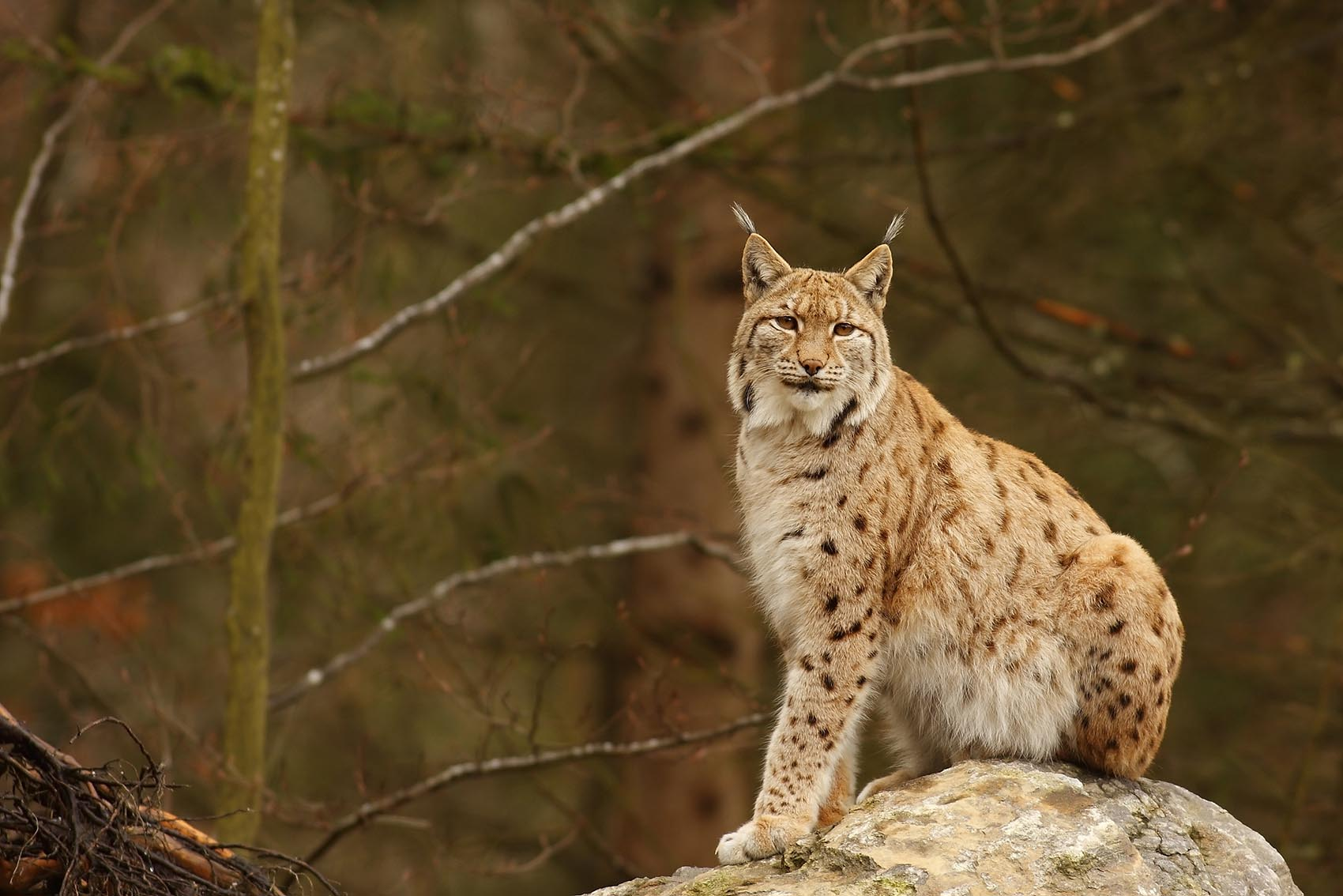 lynx-at-stockholm-zoo