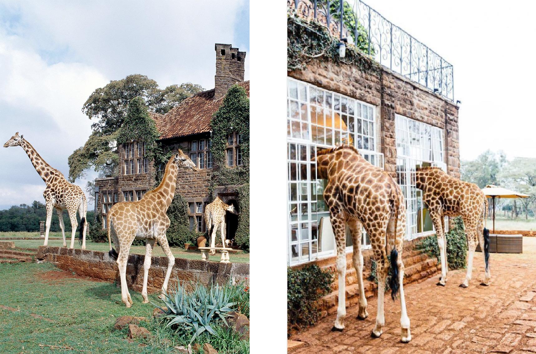 Giraffe-Manor2