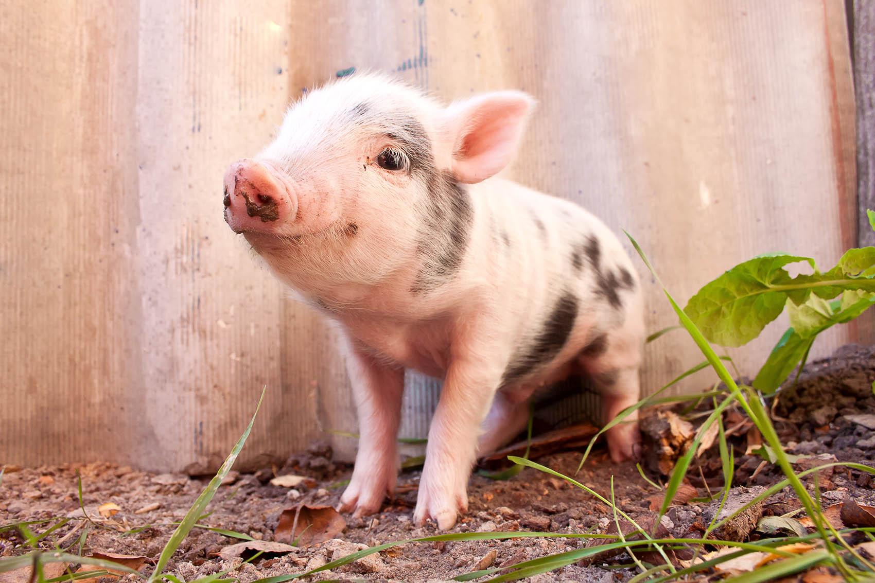 muddy-piglet