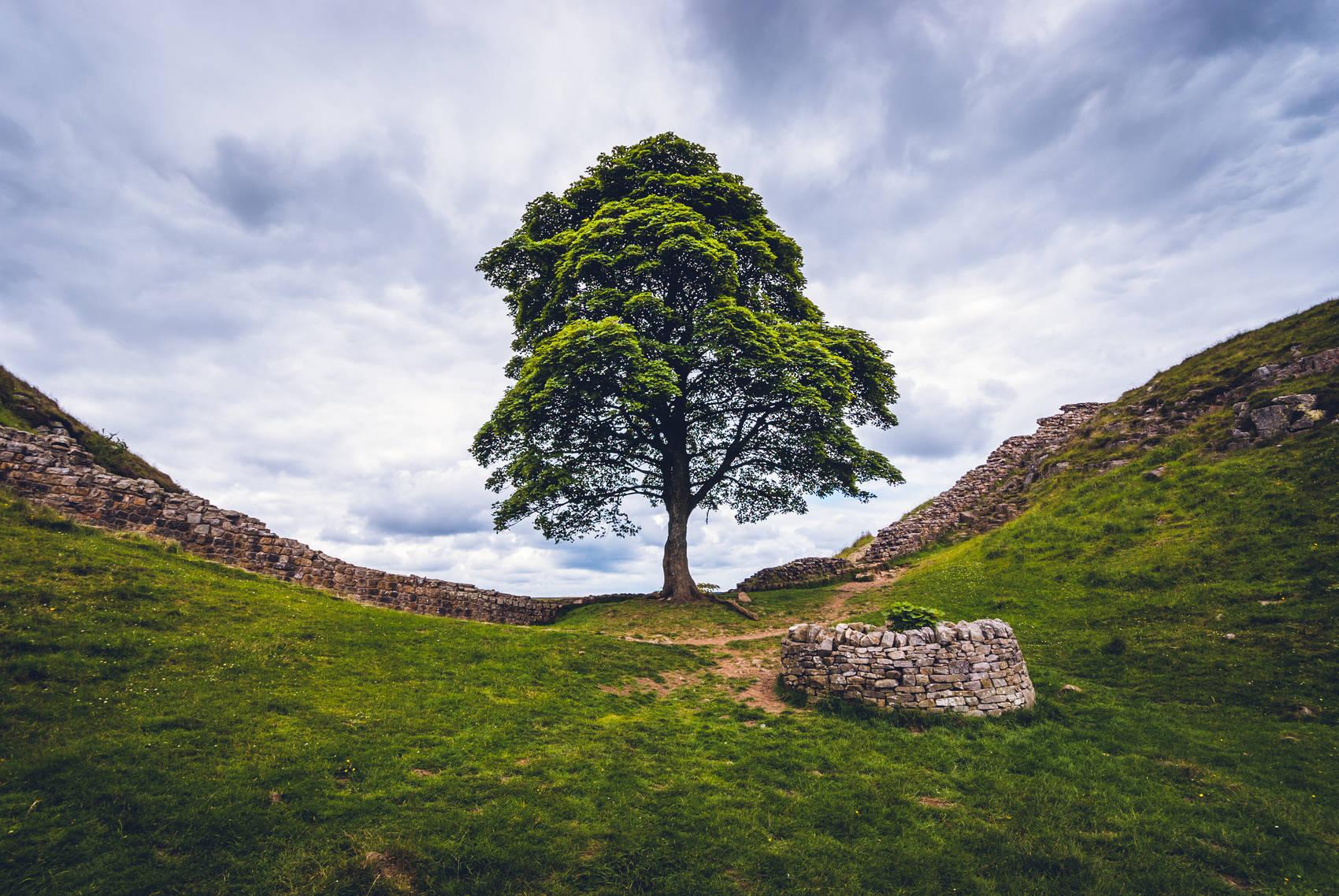 hadrians-wall-sycamore