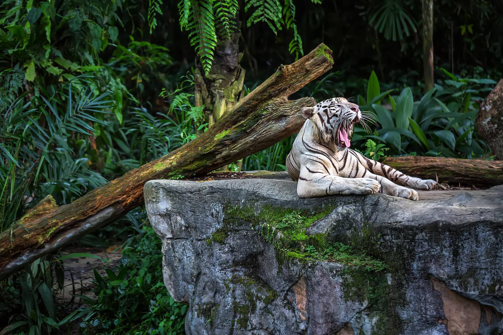 Singapore zoo bengali tigers