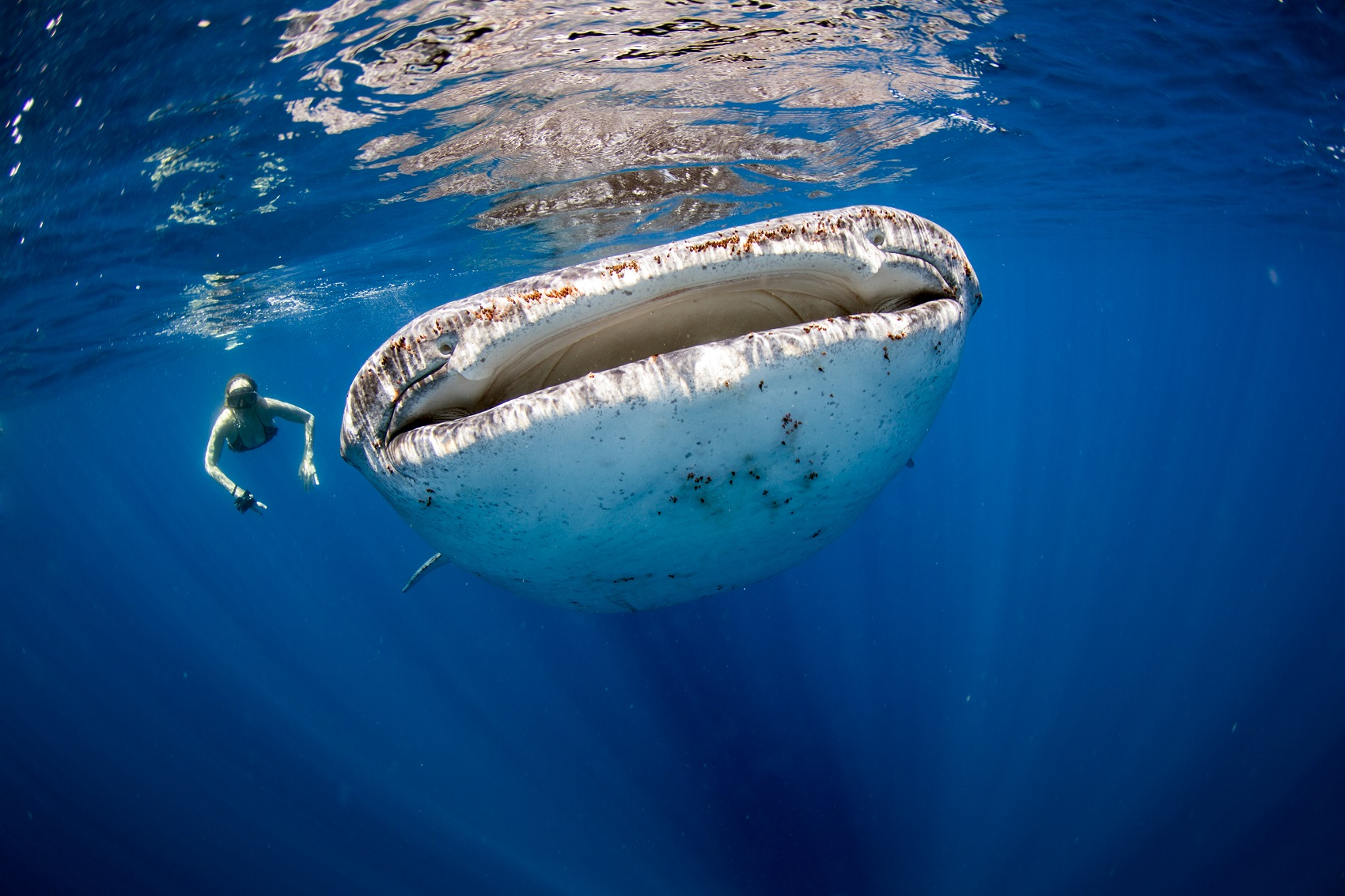 whale-shark-snorkel