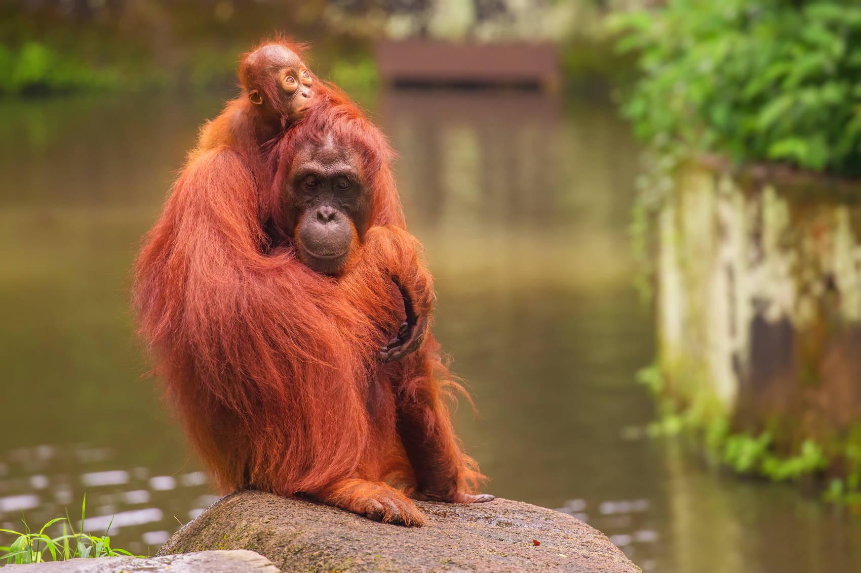 orangatan feeding at Singapore Zoo