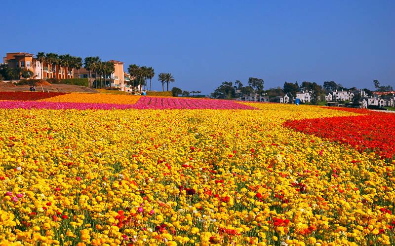 spring-2018-carlsbad-ranch-flower-fields