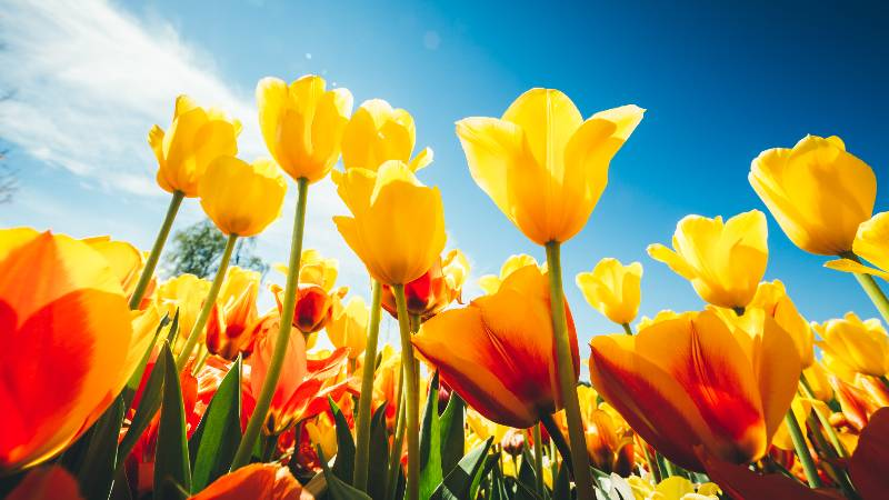 keukenhof-tulips