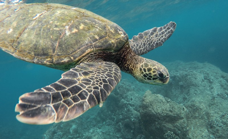 turtle in great barrier reef