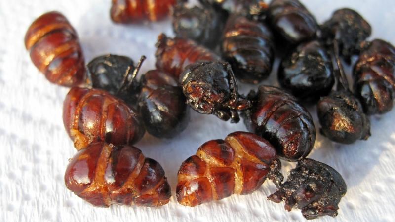 Latin-America-ants