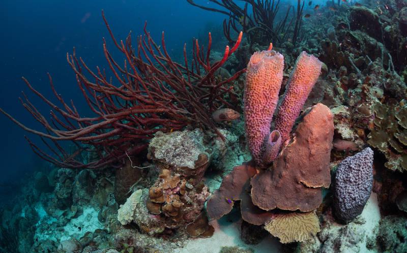 dive-best reefs in the world-bari reef-bonaire