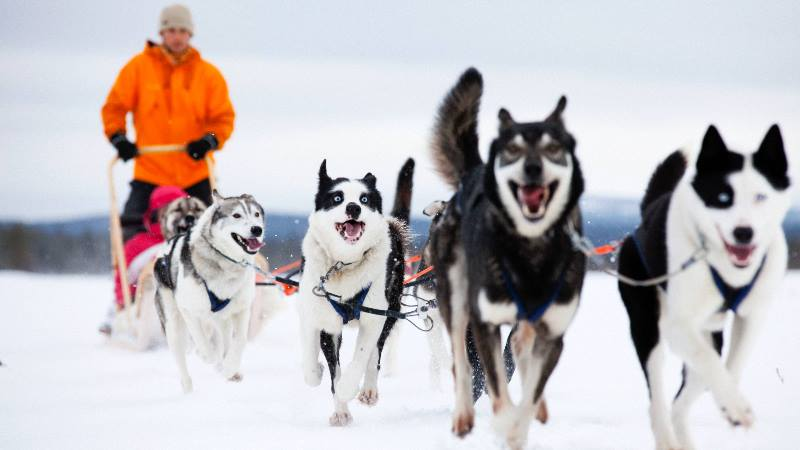 Nordic-winter-sledging-a-man-on-sledge-being-pulled-by-dogs