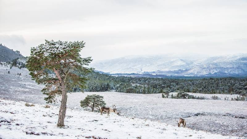 Winter-scene-of-trees-mountains-and-deer-Christmas-in-the-UK