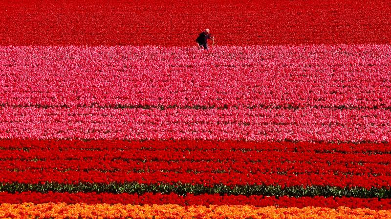Man-walking-through-a-tulip-field-a-day-at-keukenhof