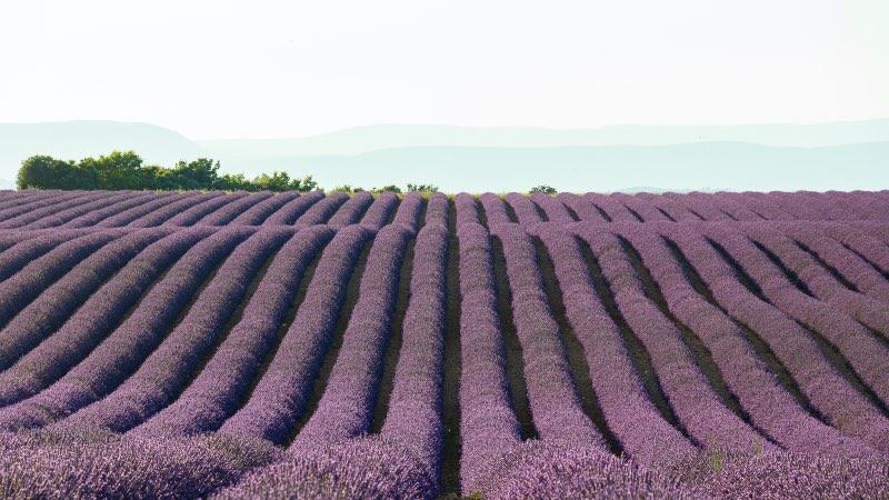 lavender fields near Aix-en-Provence