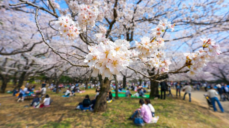 Cherry Blossoms in Yoyogi Park in Tokyo